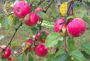 Характеристика и описание яблони сорта Пепин шафранный, посадка и уход
