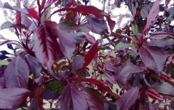 Листья Роялти