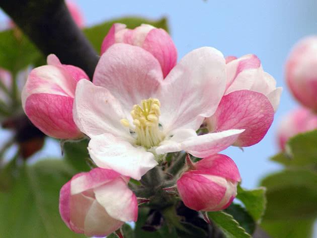 опыление яблок