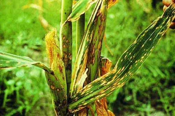 болезнь кукурузы