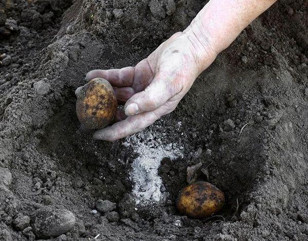 подкормка картофеля