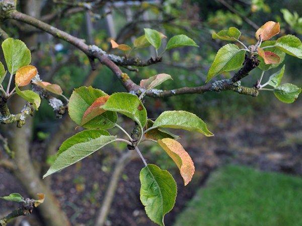 листва яблони