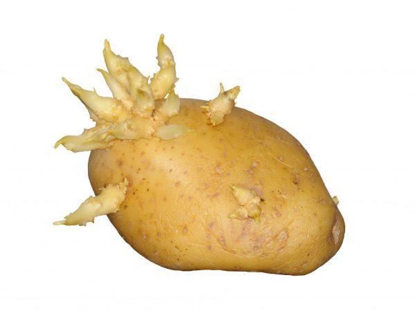 росточки картофеля