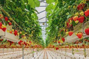 Технология выращивания клубники в теплице, тонкости посадки и ухода