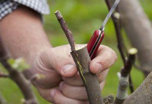 В какие сроки и как правильно привить грушу пошагово для начинающих