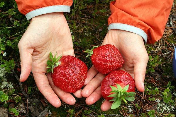 ягода в руках