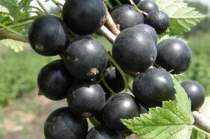 Описание черной смородины сорта Багира, особенности посадки и ухода