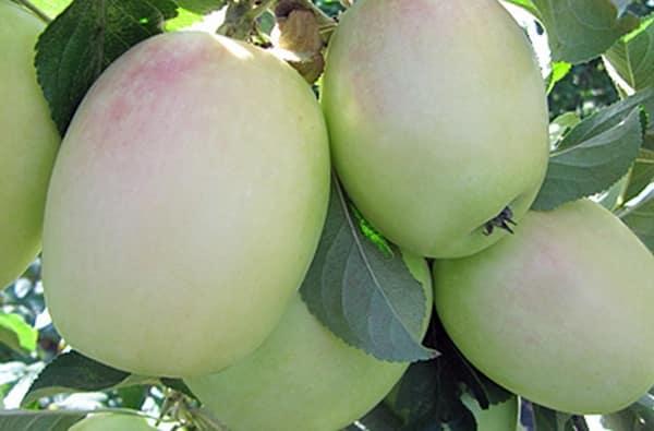 яблони на дачи