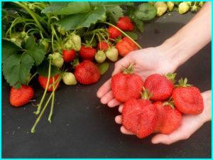 Описание и характеристики сорта клубники Альба, правила выращивания