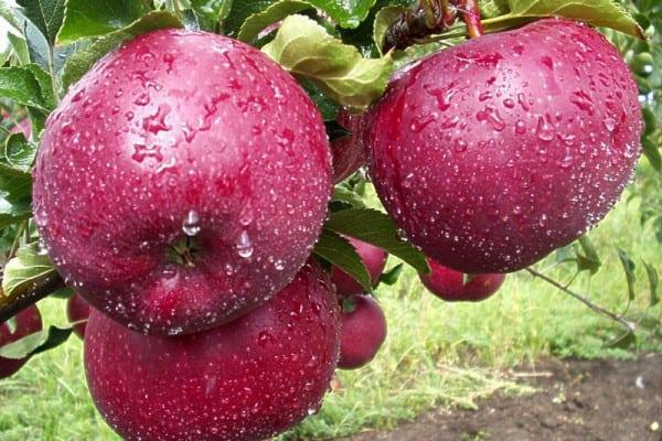 сад яблонь макинтоша