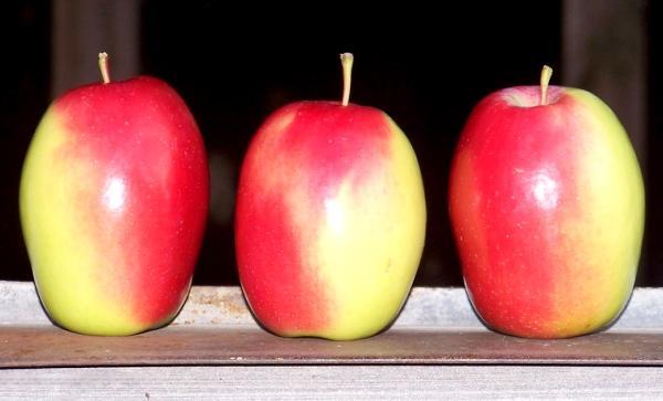 полезные свойства яблони