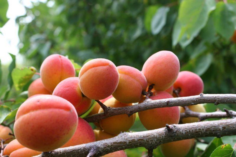 абрикос саратовский рубин