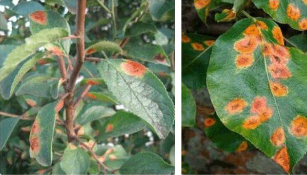 ржавчина листочков