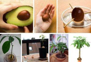 Как в домашних условиях вырастить авокадо из косточки, посадка и уход