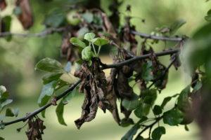 Что делать и чем лучше лечить, если на груше чернеют листья