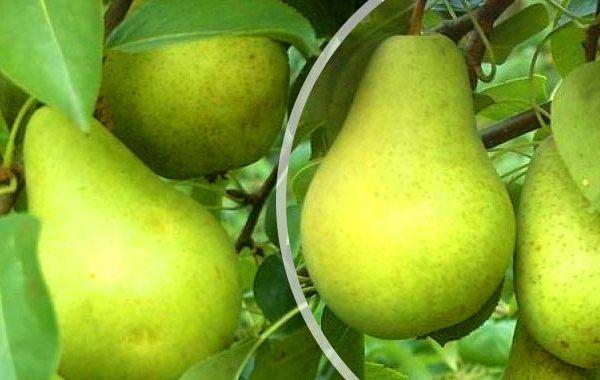 первомайская груша