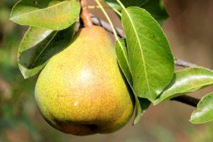 Чем можно подкормить грушу, сроки и способы внесения удобрений
