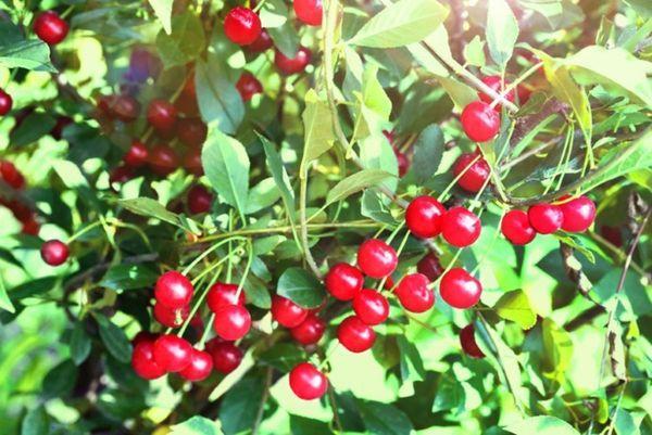 поздние сорта вишни