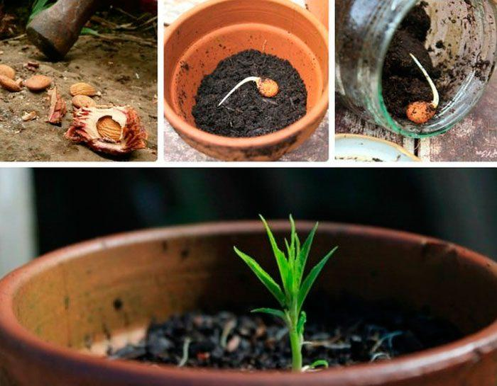 нектарин из семян