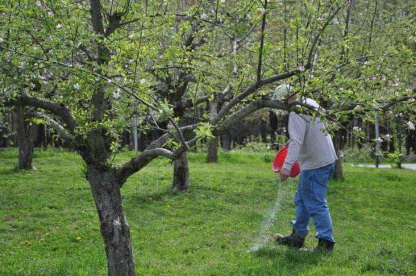 тля на яблоне