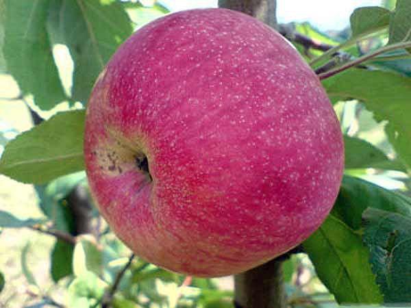 сорт яблока