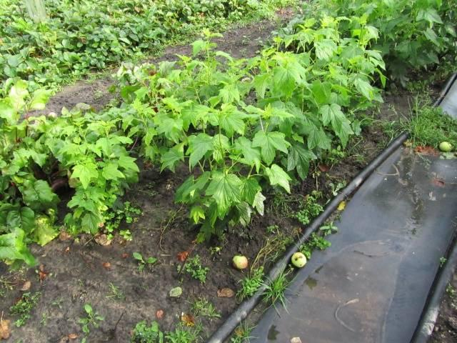 смородина в саду