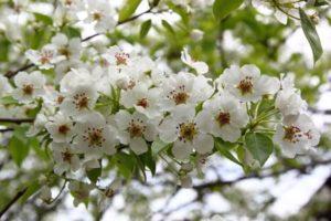 Причины, почему не начинает плодоносить груша и как добиться цветения