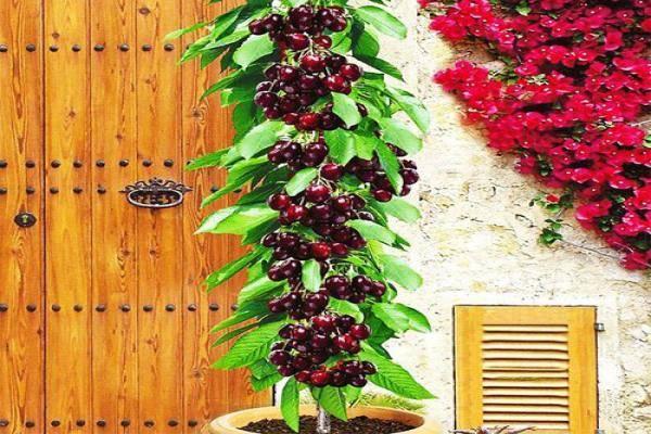 вишня колоновидная