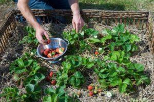 Пошаговые правила посадки и размножения клубники усами в августе