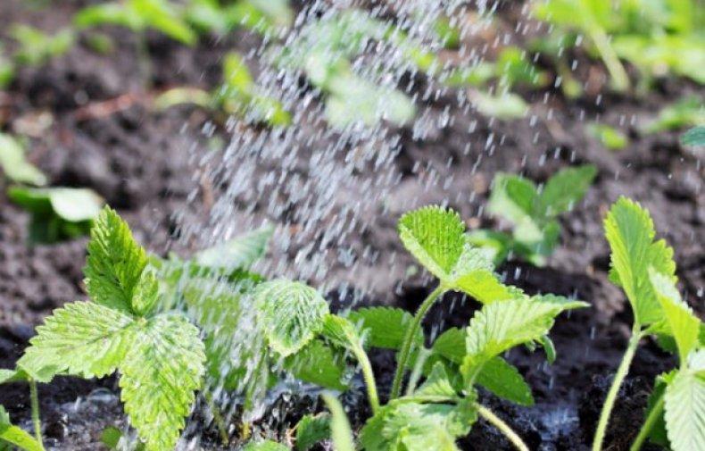полив клубники