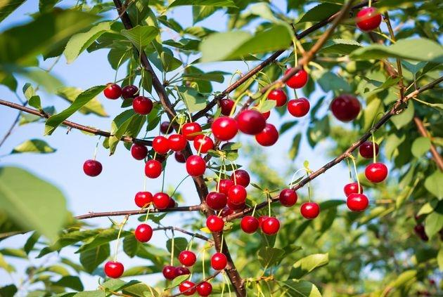 кустовая вишня