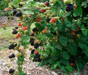 Как в открытом грунте ухаживать за ежевикой, выращивание и посадка