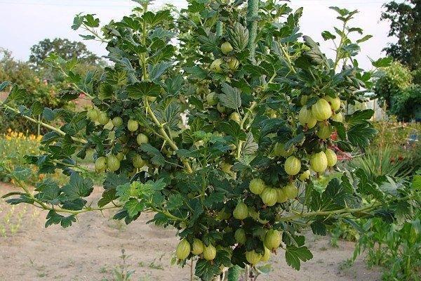 куст с плодами