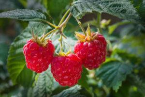 Правила обрезки малины летом, в июле и как собрать хороший урожай