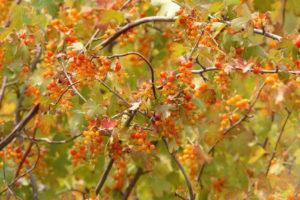 Описание 15 сортов золотистой смородины, размножение, посадка и уход