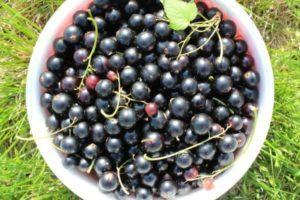 Описание и характеристики 25 лучших сортов черной смородины для Сибири