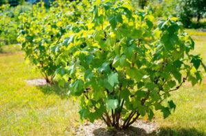 Какими удобрениями лучше подкормить смородину для лучшего урожая