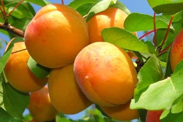 абрикосы в подмосковья