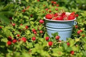 10 лучших способов, как в открытом грунте увеличить урожай клубники