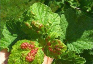 Что делать, если на листьях смородины красные пятна и лучшие методы борьбы
