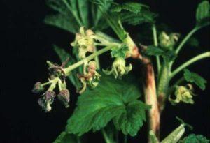 Причины и лечение махровости черной смородины, что делать и как бороться