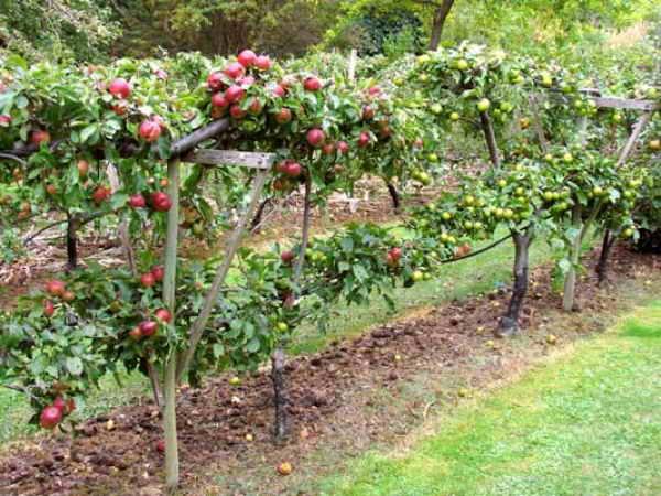 груша в саду