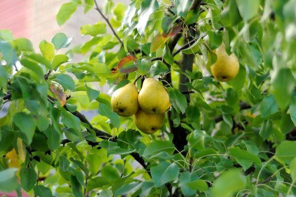 груши в саду