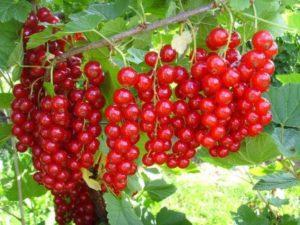 Описание красной смородины сорта Мармеладница, правила посадки и ухода