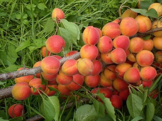 абрикос краснощекий
