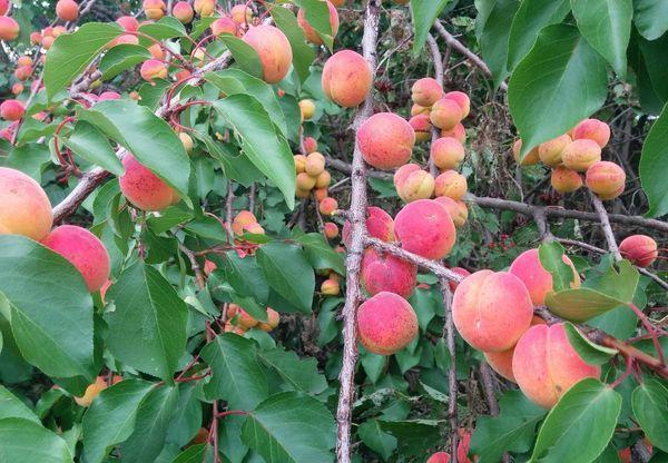 красные абрикосы