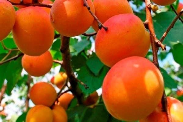 абрикос в подмосковье