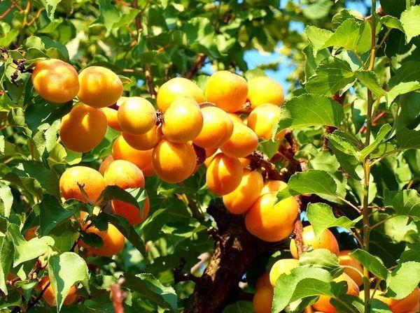 дерево с абрикосами