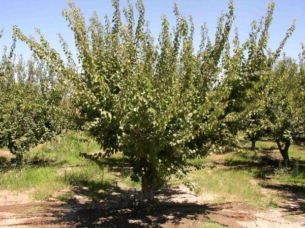 Абрикосовые деревья