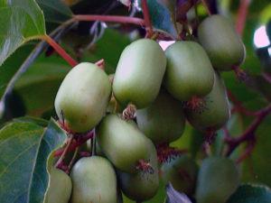 Посадка и уход за актинидией в открытом грунте, выращивание и размножение